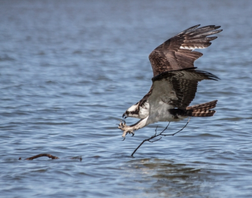 osprey_fishing1_blog