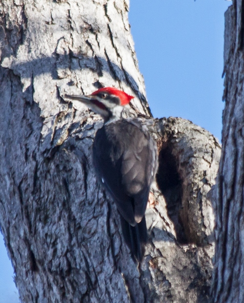 pileated1_march_blog