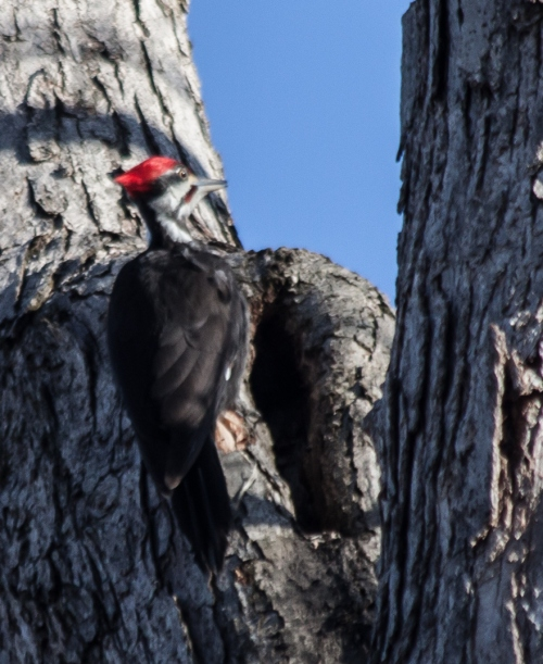 pileated2_march_blog