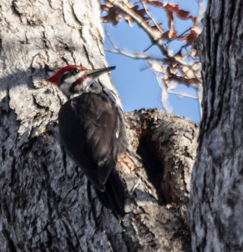 pileated4_march_blog