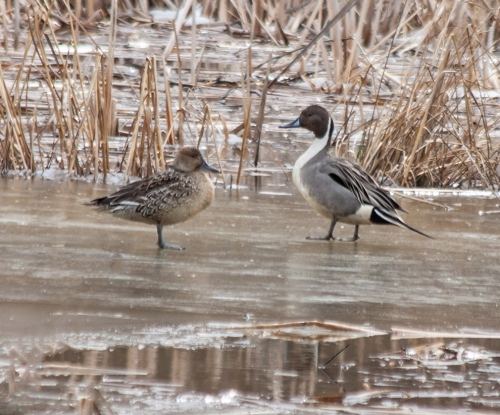 pintail_couple_blog