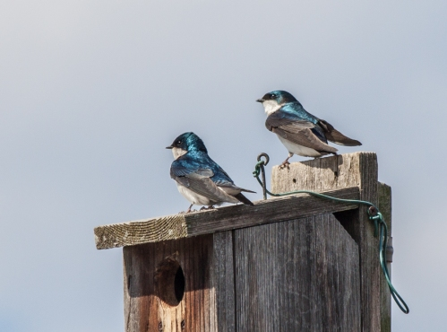 swallow_couple1_blog