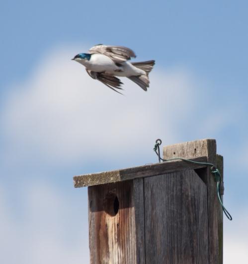 swallow_flight_blog