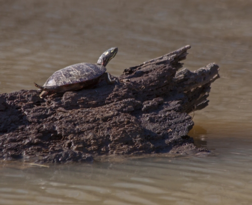turtle_sunning_blog