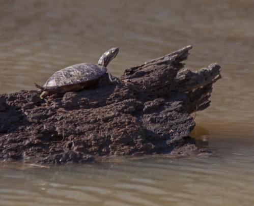 turtle_sunning_blog