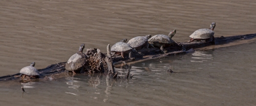 turtles_sunning_blog
