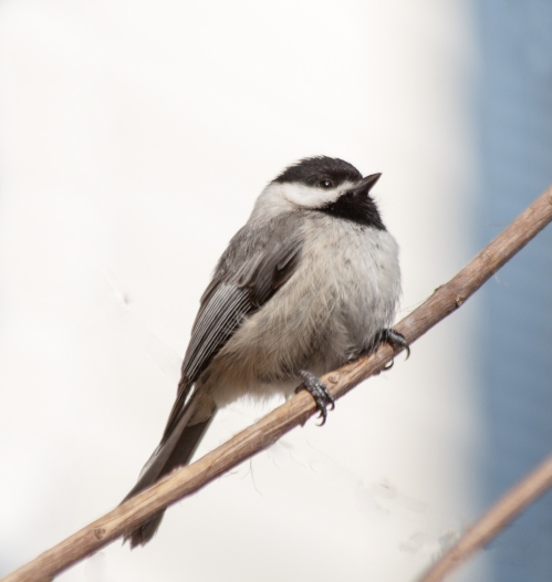 chickadee1_april_blog