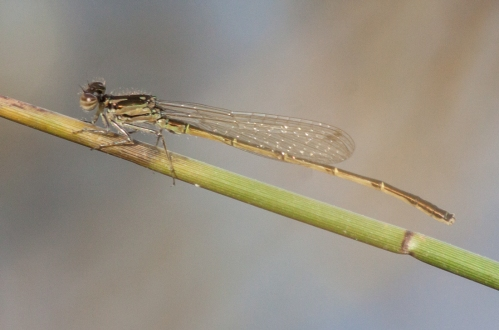 damselfly2a_blog