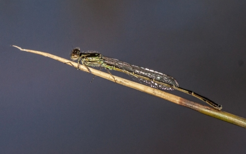 damselfly3_blog
