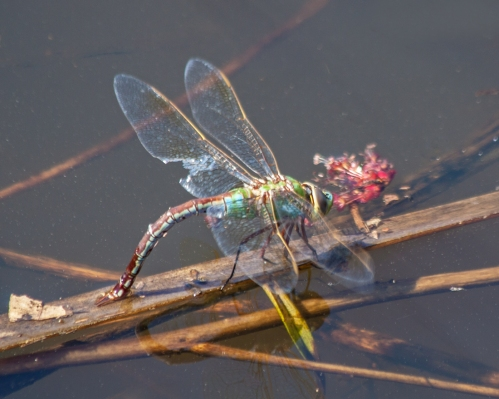 dragonfly_april_blog