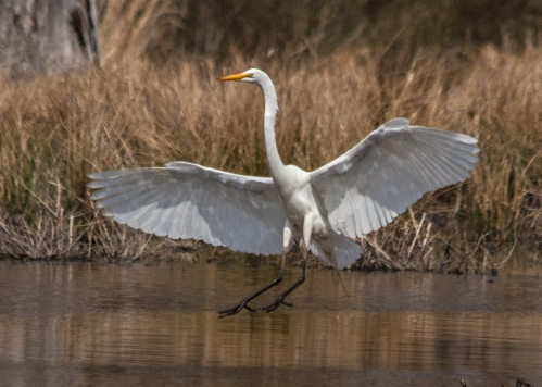 egret2_april_blog