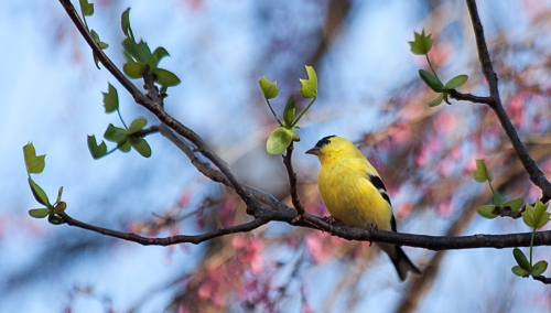 Finch and Blossoms web