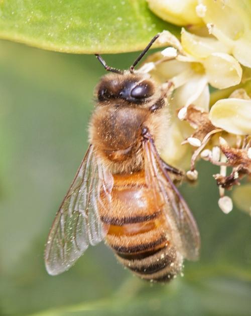 honeybee1_blog