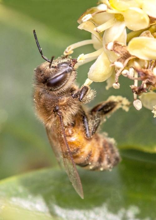 honeybee2a_blog