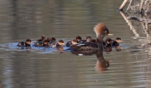mama_duck1_blog