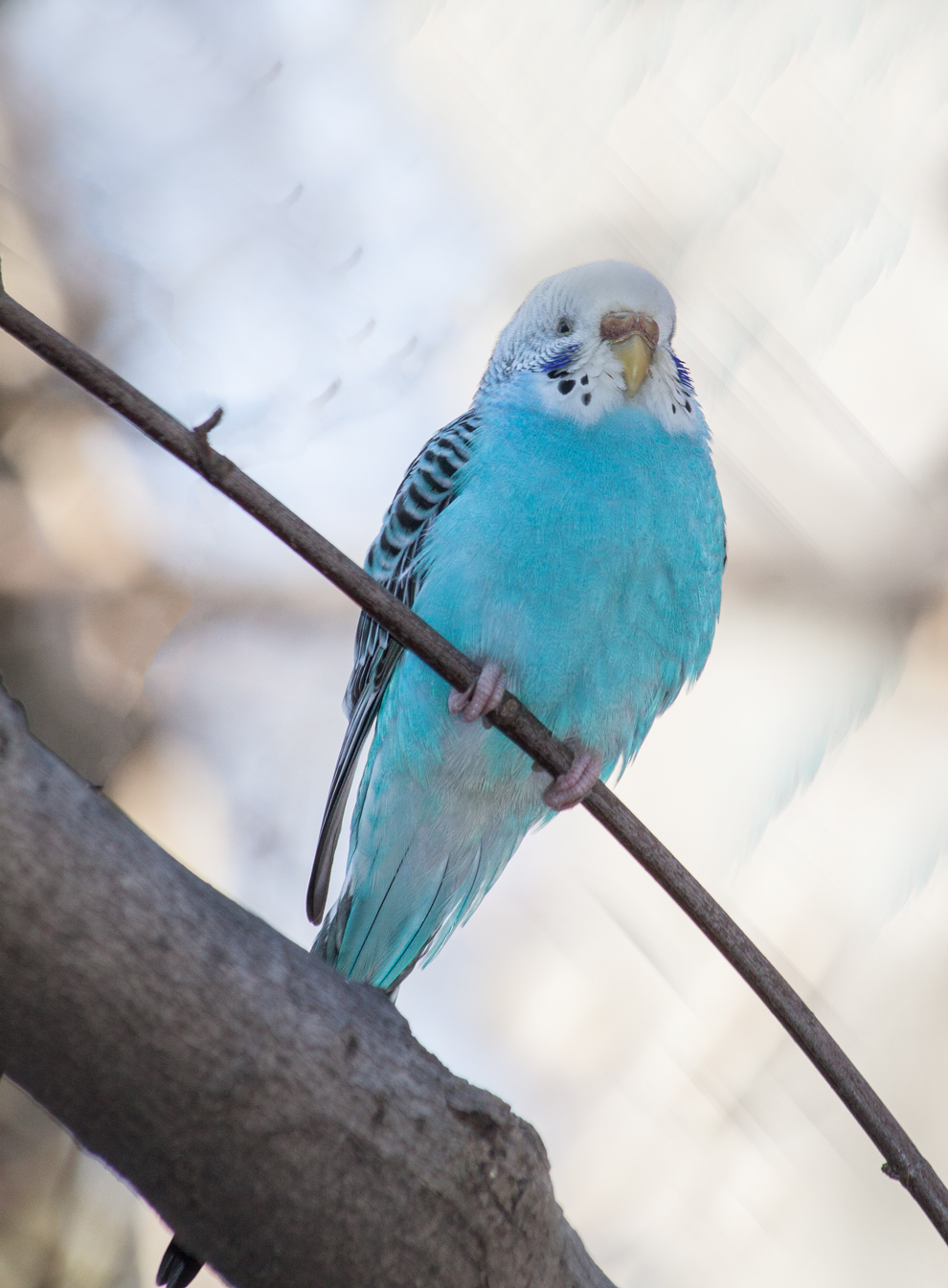 can you teach two budgies to talk - Parrot Forums