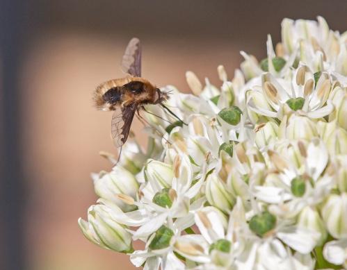 Bee Fly on allium with trellis in background