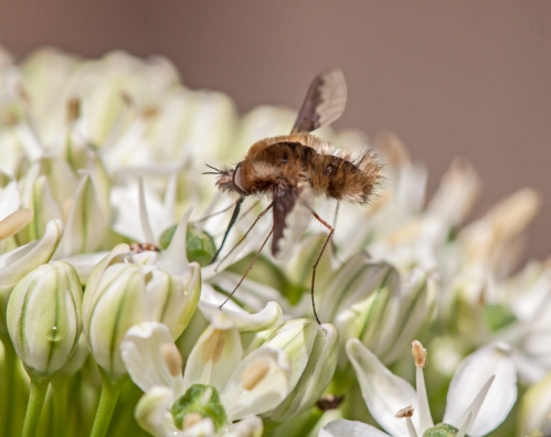 Greater Bee Fly on allium plant