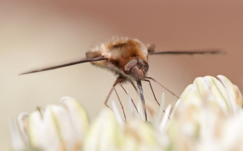 Head-on look at a bee fly