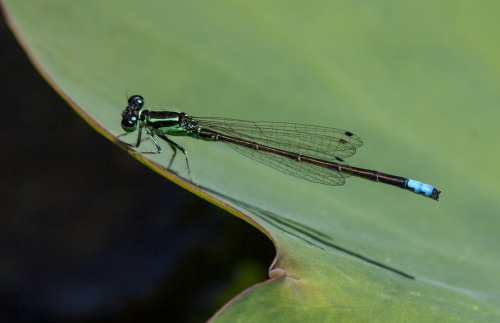 damsel_pad_crop_blog