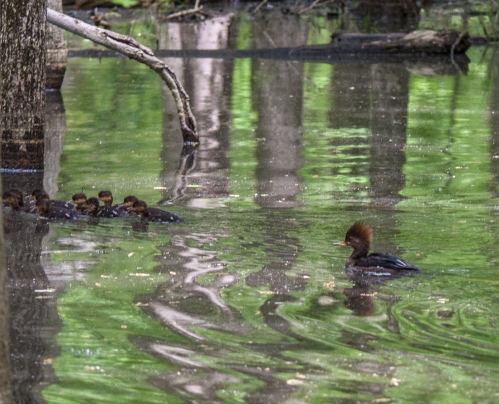 Mama duck takes up a rear position to ensure there are no stragglers.