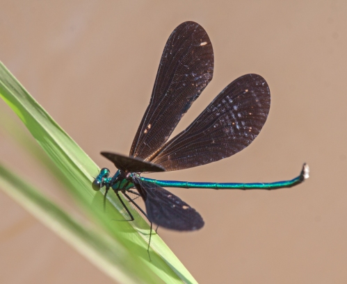 Ebony Jewelwing damselfly with opened wings