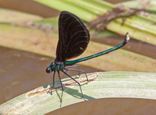 Ebony Jewelwing damselfly in a raised position with closed wings