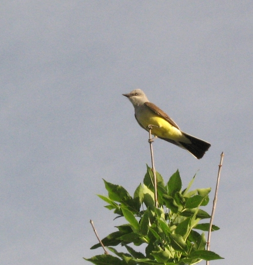 kingbird1_blog