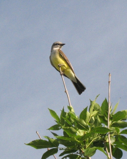 kingbird2_blog