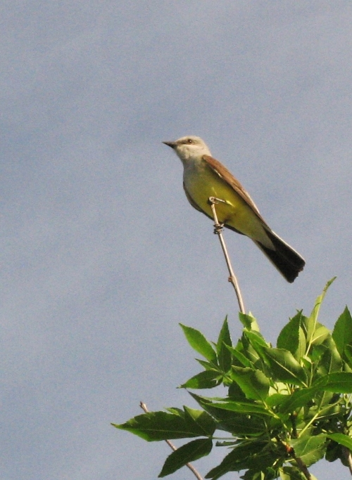 kingbird3_blog