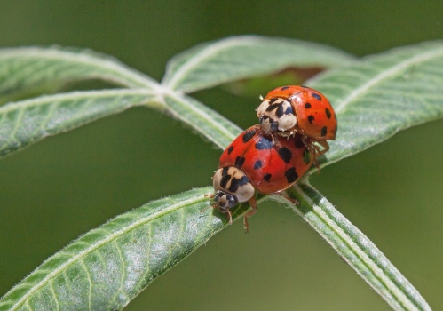 ladybug1A_love_blog