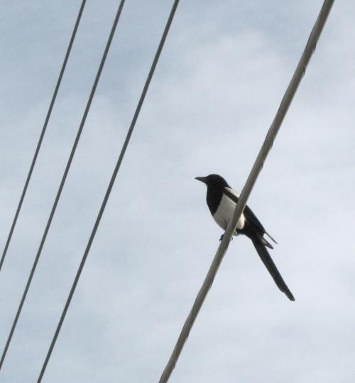 magpie2_blog