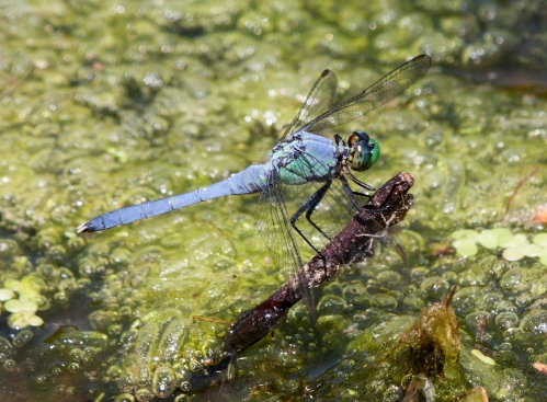 pondhawk1_blog