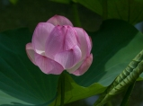 lotus2_blog