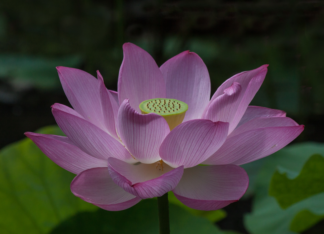 Open lotus flower savingourboysfo lotus flowers mike powell beautiful flower izmirmasajfo