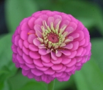 Spherical zinnia