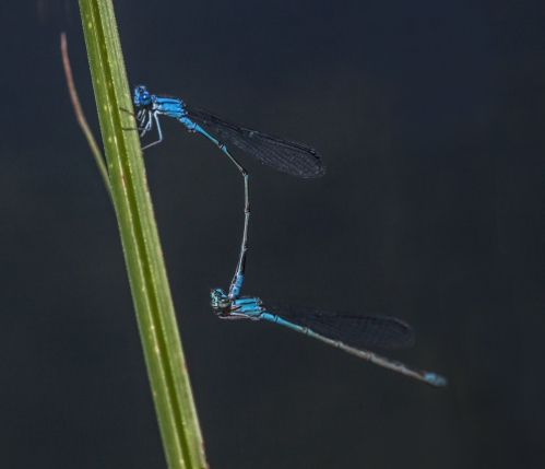 damsel1_mating_blog