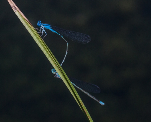 damsel2_mating_blog