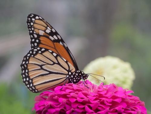 monarch1_blog
