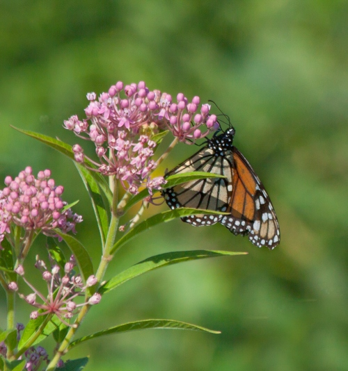 Monarch Butterfly Swamp Milkweed