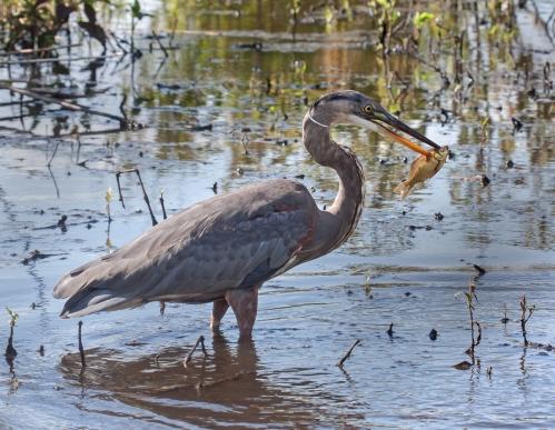Great Blue Heron Huntley Meadows Park