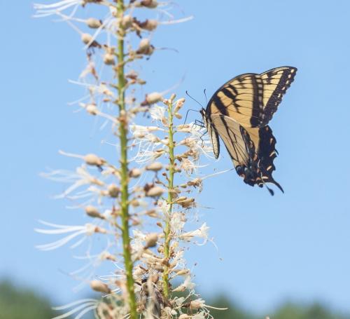 swallowtail1_blog