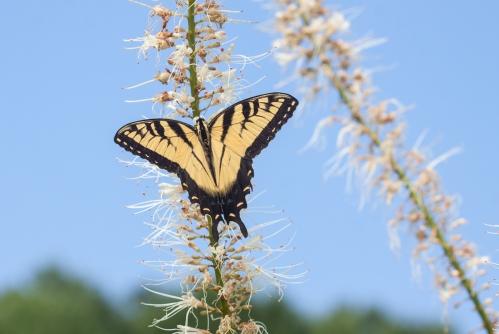 swallowtail3_blog