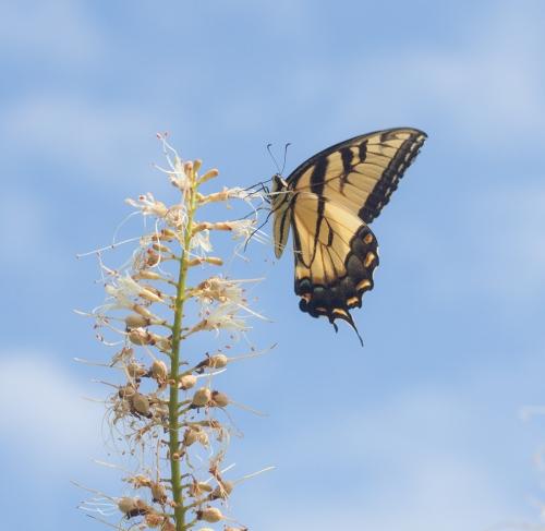 swallowtail4_blog