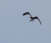 osprey1_catch_blog