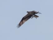 osprey3_catch_blog