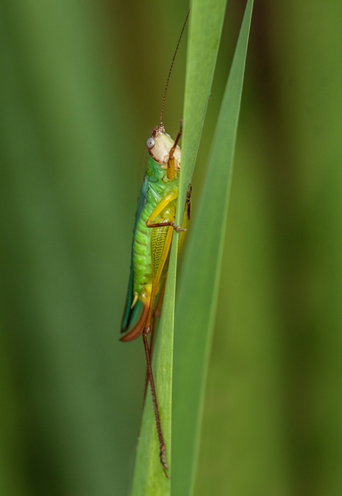 Handsome Meadow Katydid