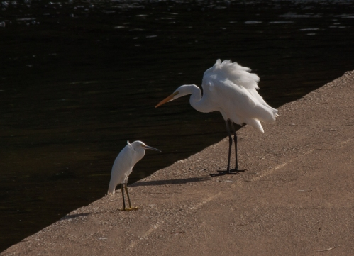 Great Egret and baby