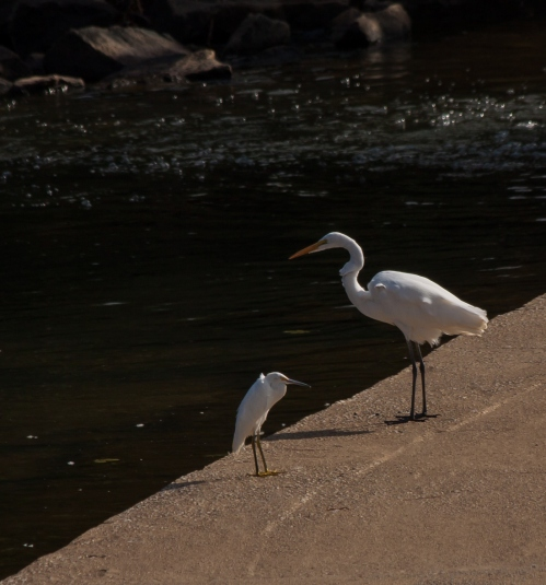 Great Egret adult and juvenile