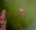 Black and Yellow Garden Orbweaver wraps up prey